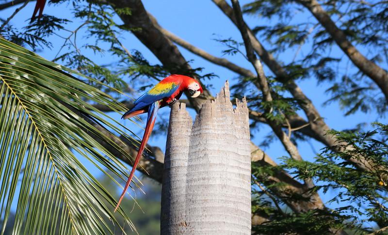 Ara Macao (Lapas) Costa Rica