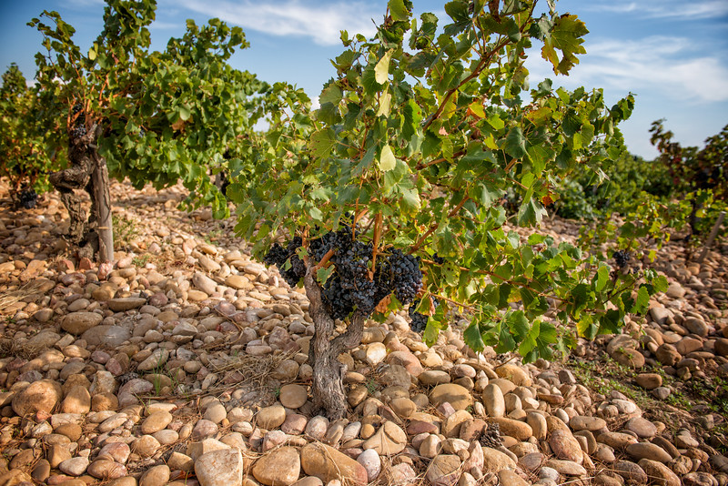 Vineyard in Chateauneuf du Papes