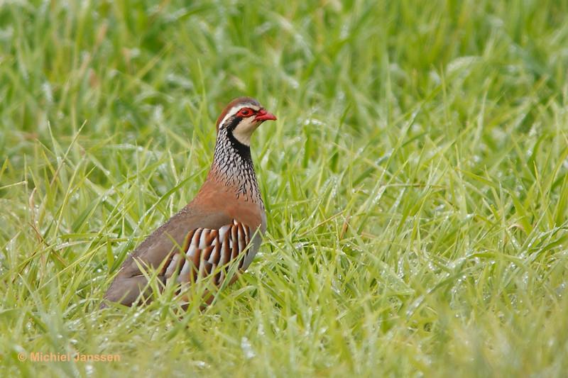 Alectoris rufa - Rode patrijs - Red-legged Partridge - Perdiz