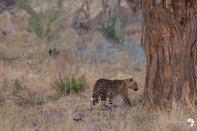 Leopard returning from patrols