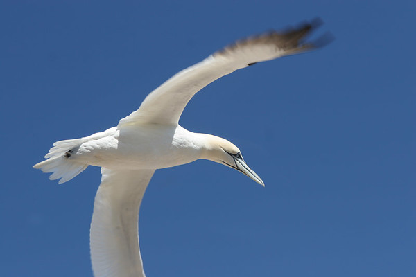 Northern Gannets/Bonaventure Island
