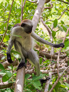 Colobus in Jozani