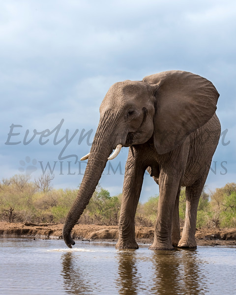 African Elephant at the Waterhole