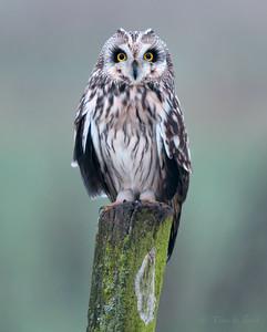 Short eared owl / Velduil / Asio Flammeus