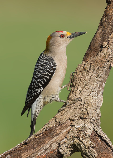Golden-fronted Woodpecker, Melanerpes aurifrons