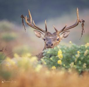 Pt. Reyes Tule Elk
