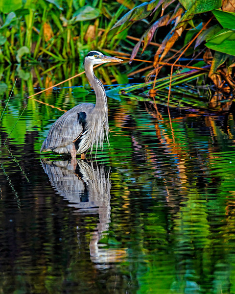 GBH Standing in Water_DSC_5680-Edit.jpg