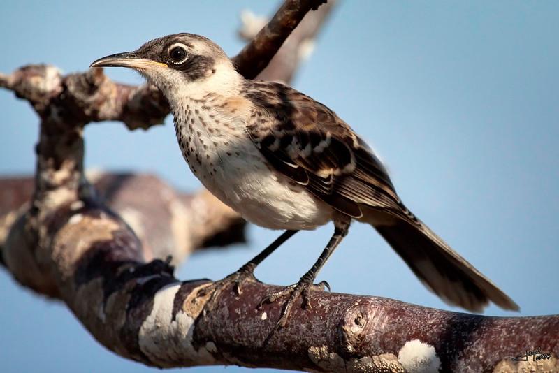 Galapagos Mockingbird-2.jpg