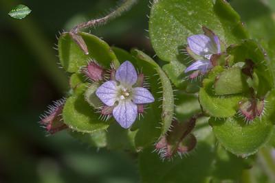 Véronique à feuilles de lierre (Veronica hederifolia)