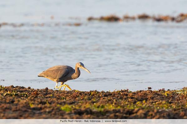 Pacific Reef-Heron