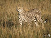 Cheetah - Mara 2