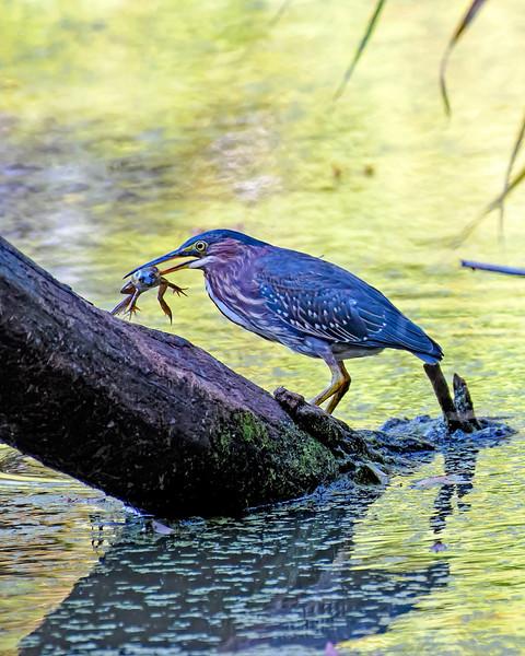 Heron Eats Frog_DSC_6041.jpg