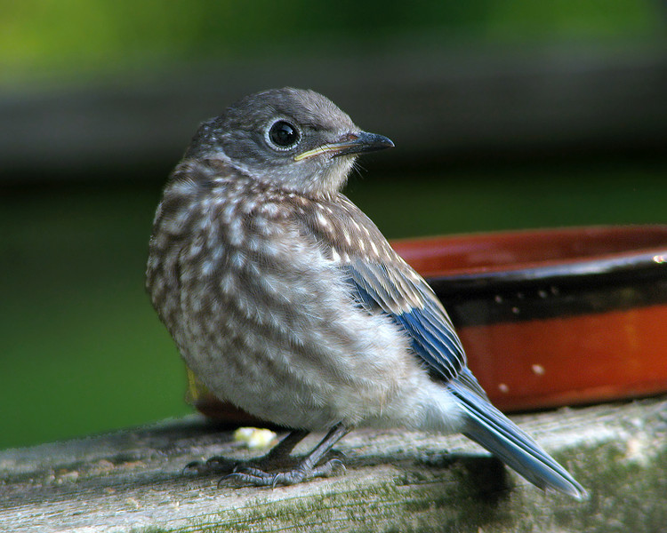 bluebird_fledgling_3054.jpg