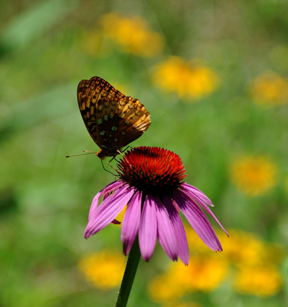 Blue Ridge Parkway Butterfly
