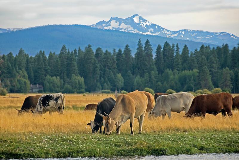 Rodeo Cows_DSC9323rt.jpg