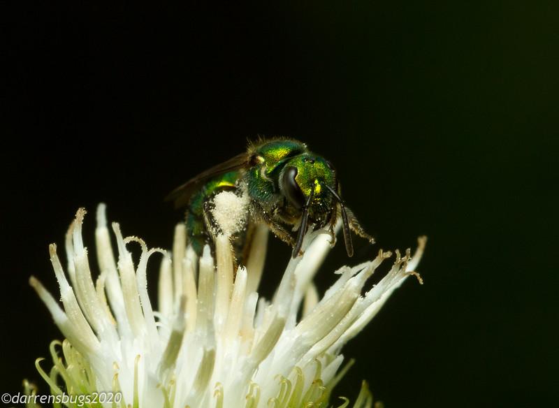 Golden Green-Sweat bee, Augochlorella aurata, in Iowa.