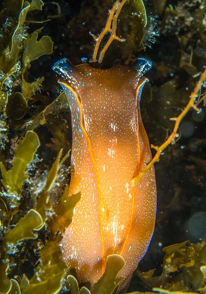 Navanax polyalphos