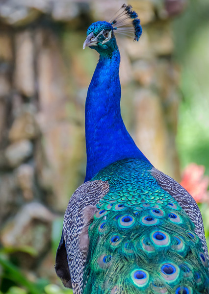 very_blue_peacock.jpg
