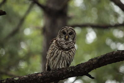Barred Owl Visit August 2016