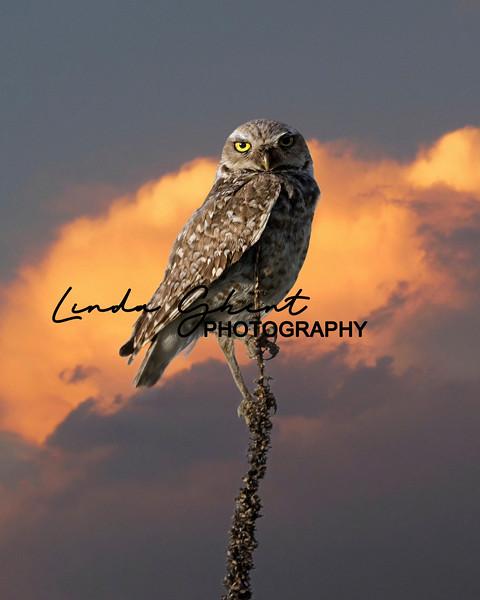 Colorado Burrowing Owl
