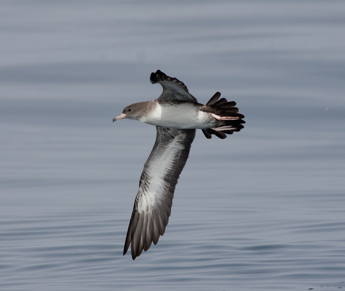 Pink-Footed  Shearwater San Diego Waters 2010 07 31-4.CR2