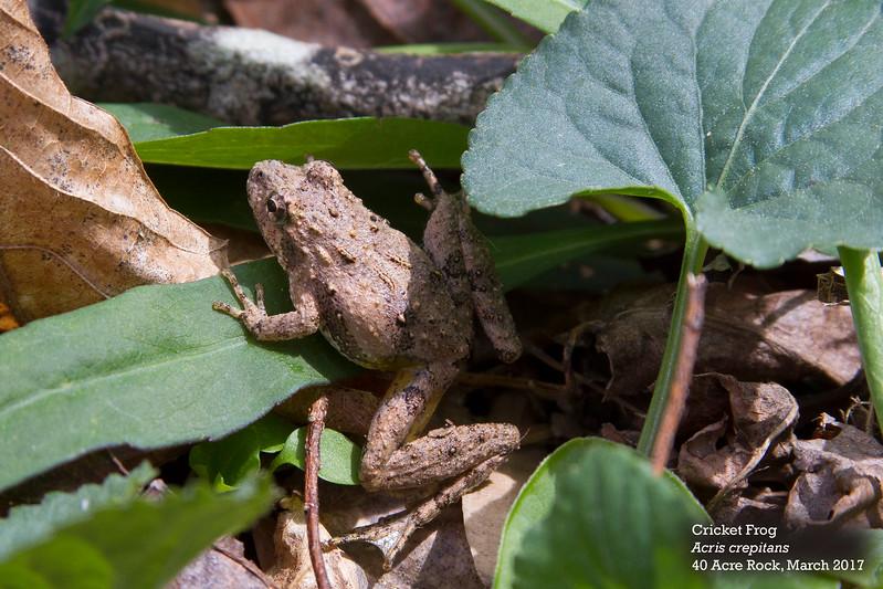 Cricket Frog2.jpg