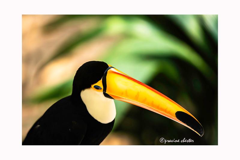 Toucan Bill