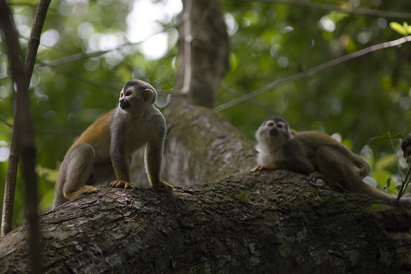 Mono Titis (Red Backed Squirrel Monkeys)