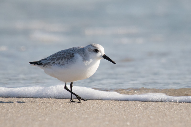 Sanderlings Fall 2019-4.jpg