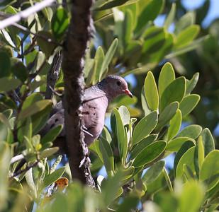 Suomuvarpuskyyhky (Columbina passerina)