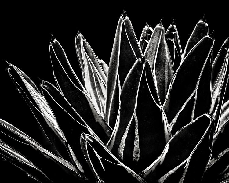 agave-victoria-reginae-variegata-02.jpg