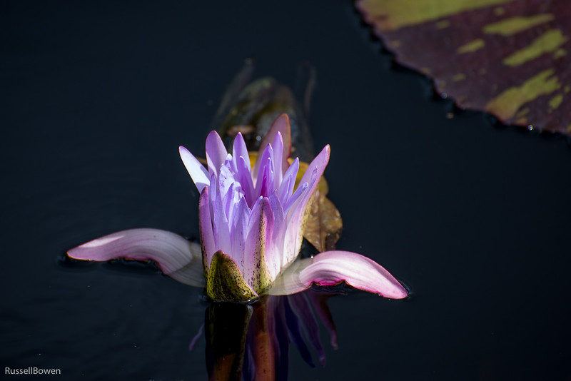 Lily Opening-1.jpg