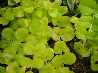 Lysimachia nummularia 'Aurea '.jpg