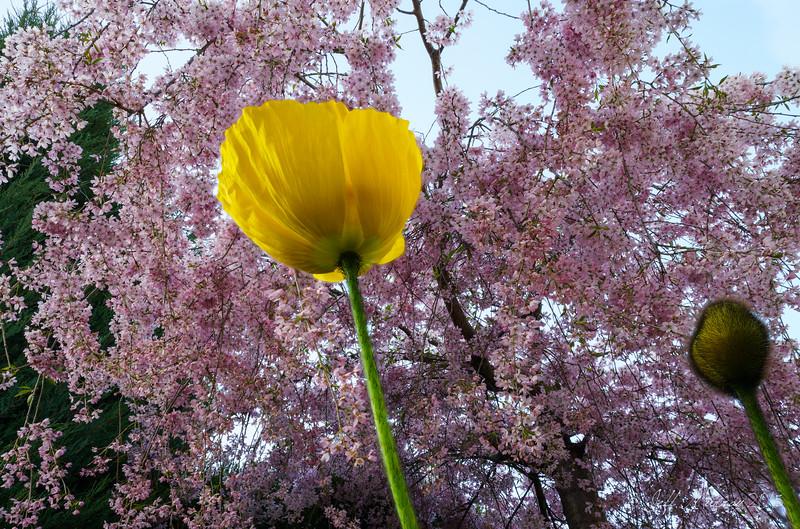 Poppy under cherry blossom