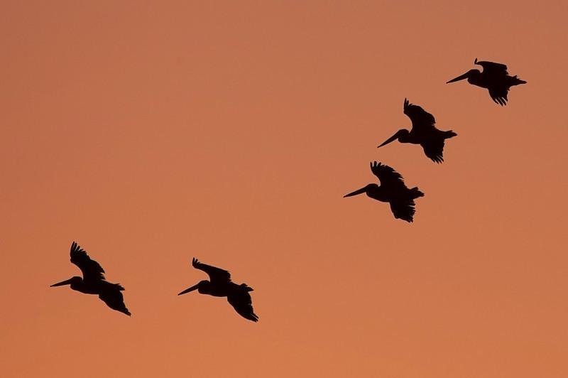Pelican silhouettes at sunrise