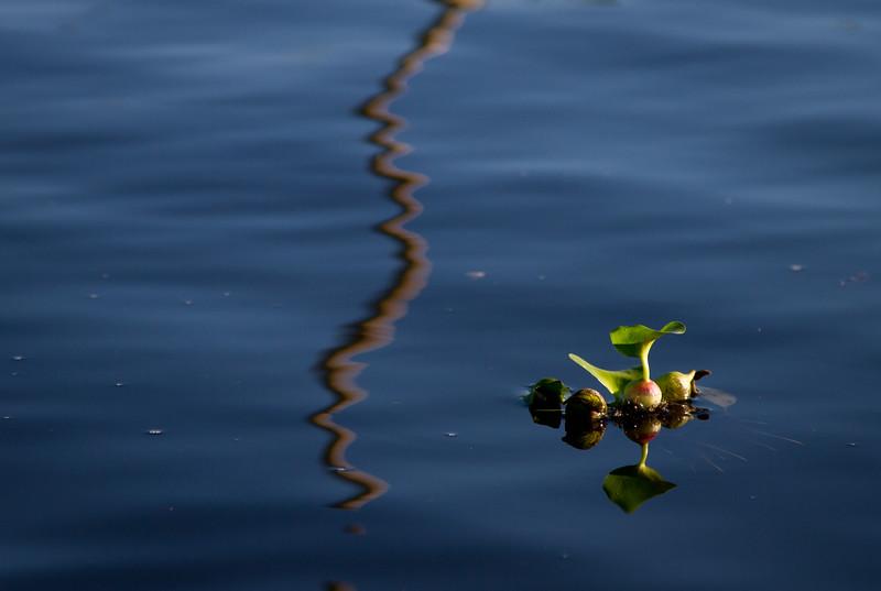 יקינטון מים