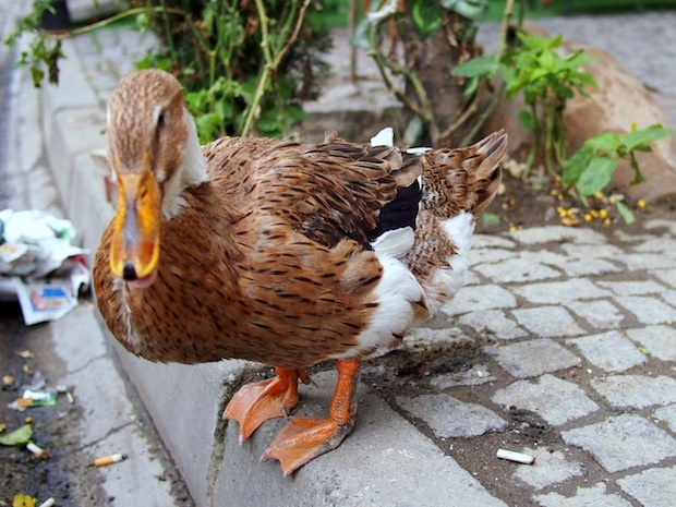 The Sultanahmet Duck (RIP)