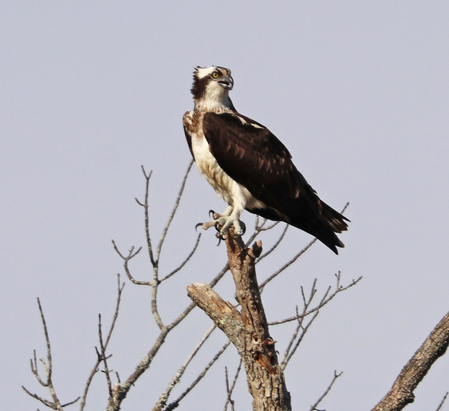 osprey 075.jpg