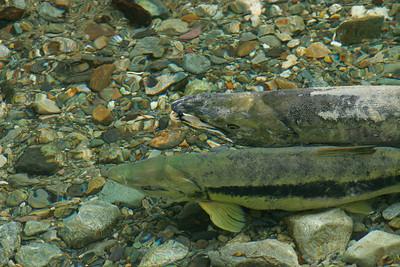 Bony Freshwater Fish