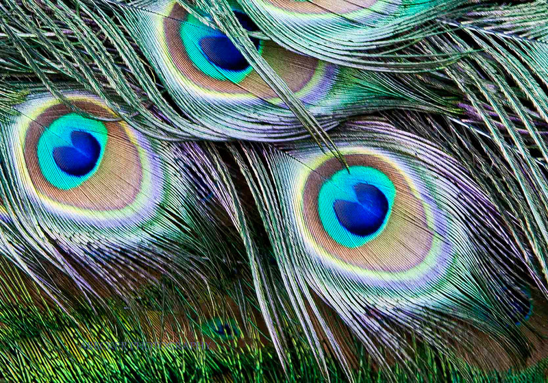 Peacock eyes.jpg
