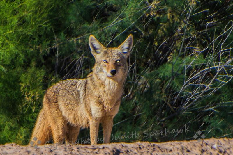 Mr. Coyote - Judith Sparhawk