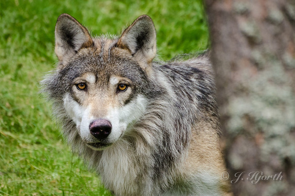 Ulv, grey wolf - (Canis lupus)
