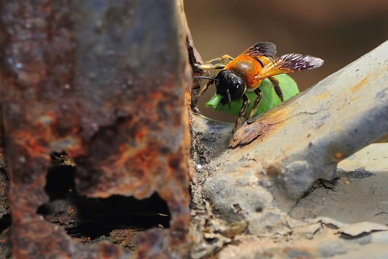 Leaf-cutter-bee-06.jpg