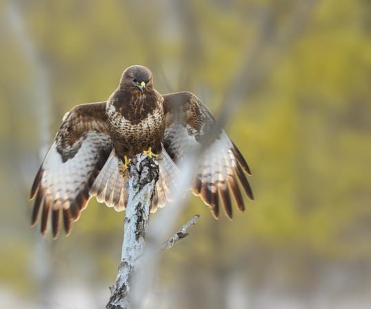 Birder's Corner - Birds of Prey