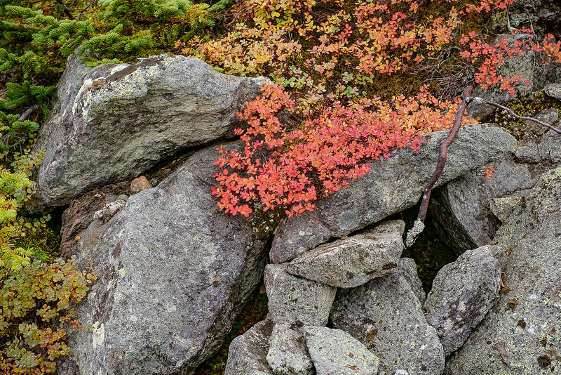 Colorful Fall Alpine Foliage on Mt. Washington, New Hampshire