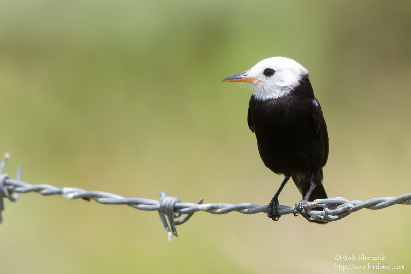 White-headed Marsh Tyrant - Aripo Agricultural Station, Trinidad