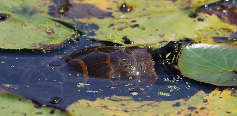 painted turtle maine.jpg