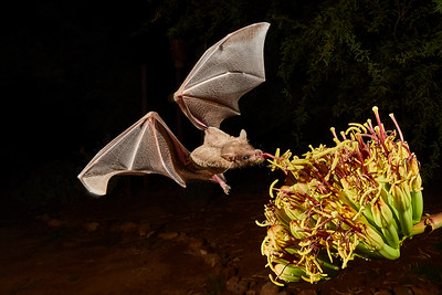 Bat Pollination Photos