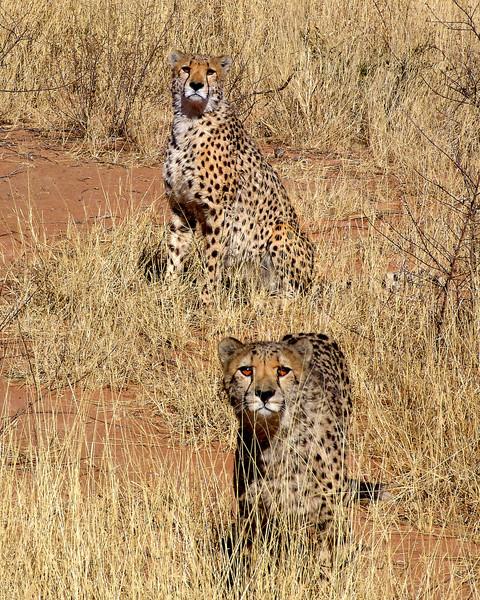 CHEETAHS - NAMIBIA