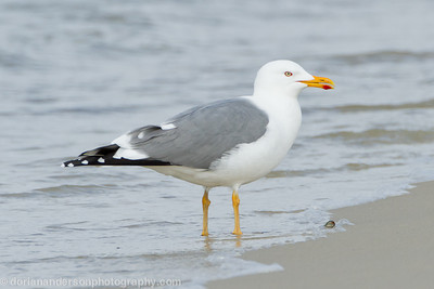 """Yellow-legged gull"" *record not accepted"